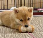 天津宠物美容培训班教你让狗狗如何学会卧下